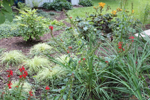 Carex, Cardinal Flower, Ligularia